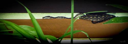 Resident Python by vanndra