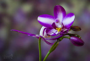 Purple Spathoglottis Orchid by vanndra