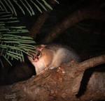 Australian Possum by vanndra