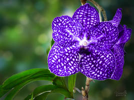 A Vanda Orchid for Pia by vanndra