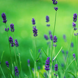 Lavender by laura242