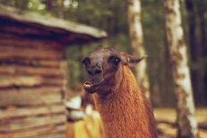llama by all17