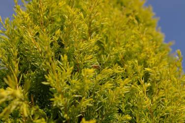 Summer pine by flegmatyk