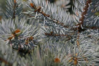Winter pine by flegmatyk