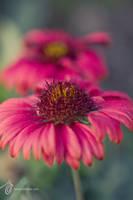 Flowers 2 by fahadee