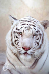 White Tiger by fahadee