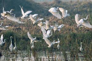 Egrets by fahadee