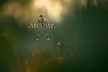 Nemonoptera bipennis by RGSeby