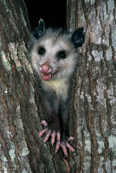 Happy Opossum by CapscesDigitalInk