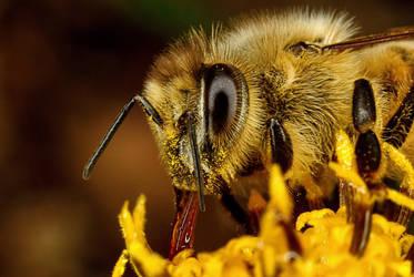 Feeding Honey Bee II by Japers