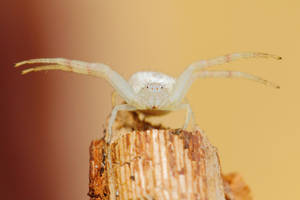White Crab Spider by Japers