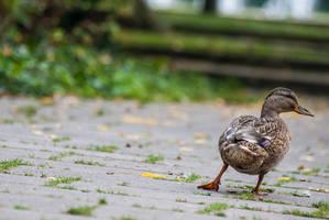 31 Janvier - Une vie de canard (23/26) by InterludePhoto