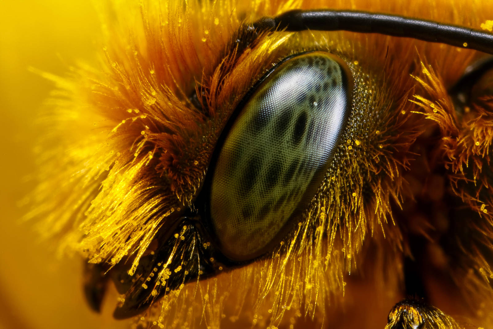 Miner Bee at 5x by dalantech