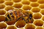 Making Honey by dalantech