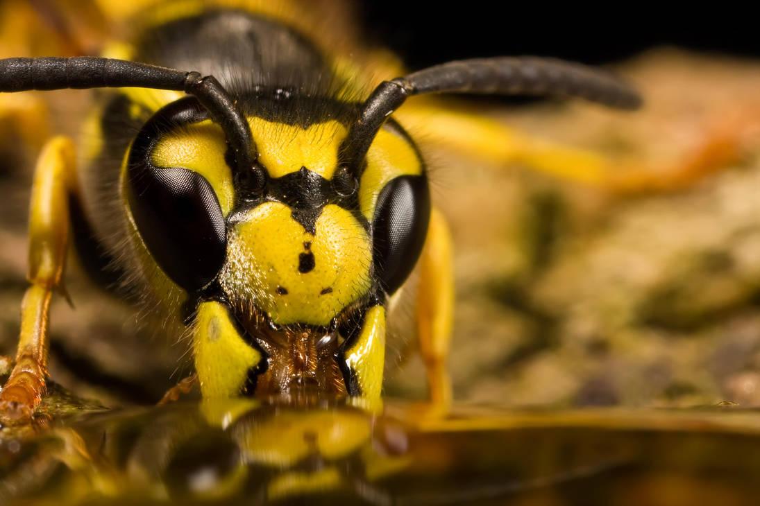 Wasp Reflection II by dalantech