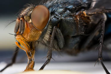Housefly II by dalantech