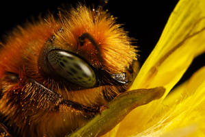 Miner Bee Portrait by dalantech