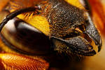 Cuckoo Bee Portrait I by dalantech