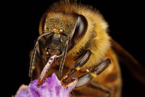 Feeding Honeybee III by dalantech
