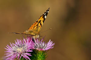 Painted Lady III by dalantech