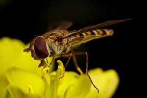 Winter Hoverfly by dalantech