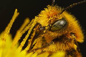 Feeding Mason Bee I by dalantech
