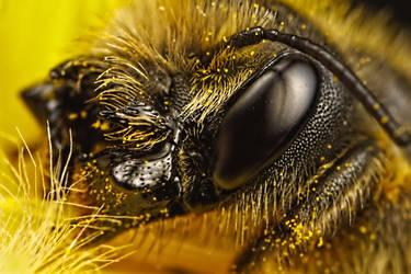 Female Mason Bee Portrait I by dalantech