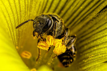 Published Solitary Bee by dalantech