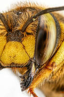 Wool Carder Bee Series 2-5 by dalantech
