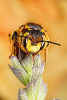 Wool Carder Bee Series 3-5 by dalantech