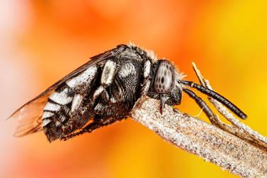 Resting Cuckoo Bee I by dalantech