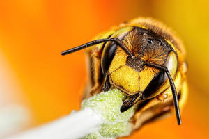 Sleeping Wool Carder Bee by dalantech