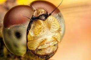 Dragonfly Portrait II by dalantech