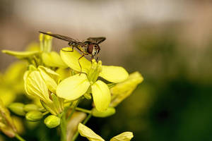 Hoverfly on Yellow Flower by dalantech
