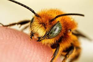 Newborn Red Mason Bee I by dalantech