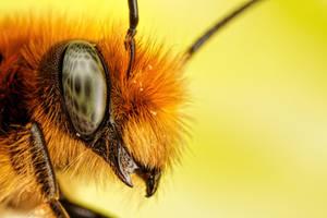 Newborn Red Mason Bee III by dalantech