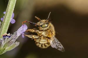 Hairy Footed Bee II by dalantech