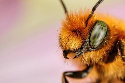 Newborn Blue Mason Bee V by dalantech