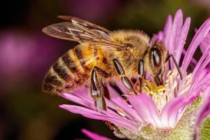Feeding Honeybee by dalantech