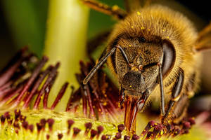Honeybee in a Passion Flower by dalantech