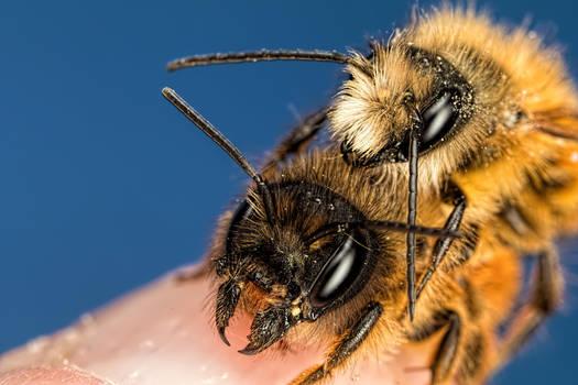 Mating Red Mason Bees by dalantech