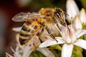 Feeding Honeybee IV by dalantech