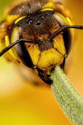 European Carder Bee I by dalantech