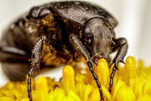 Feeding Chafer Beetle II by dalantech