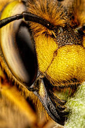 European Carder Bee III by dalantech