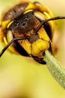 European Carder Bee IV by dalantech