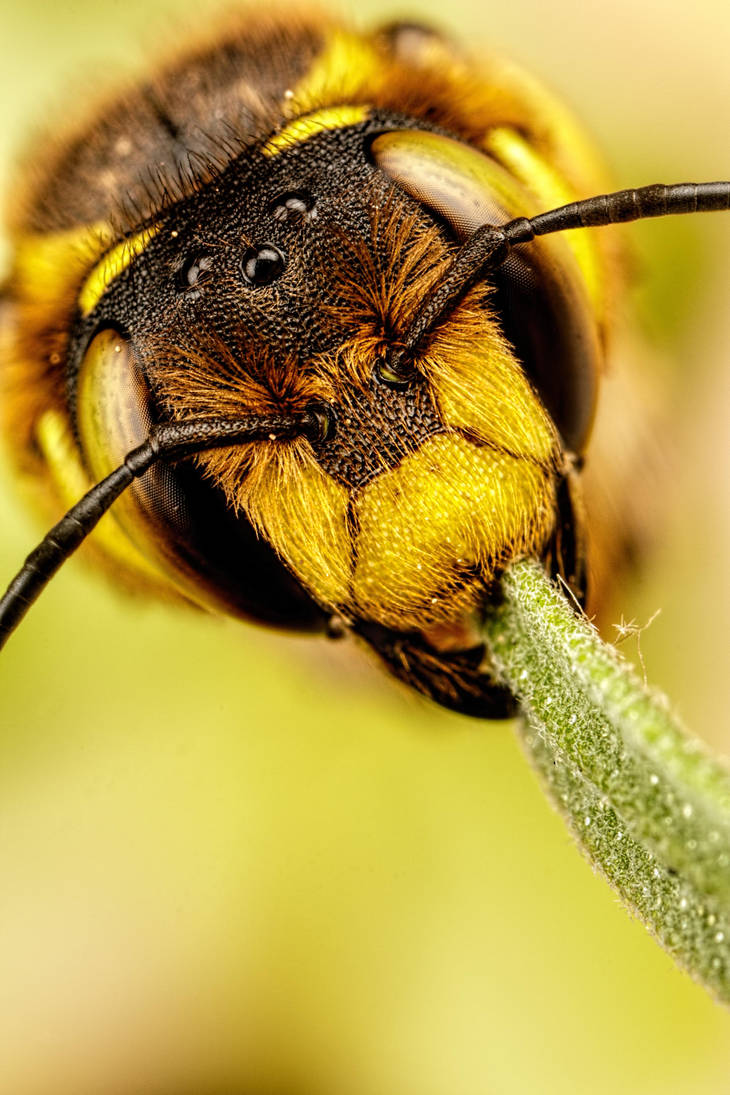European Carder Bee IV by dalantech