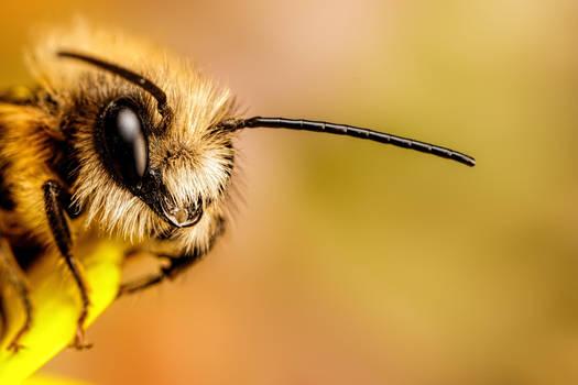 Red Mason Bee II by dalantech