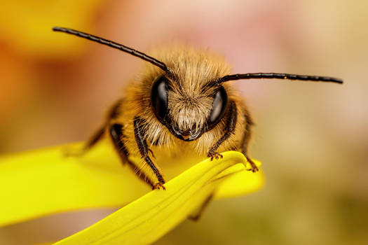 Red Mason Bee IV by dalantech