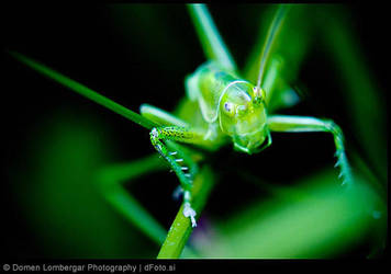 The Little Grasshopper by DomenLo